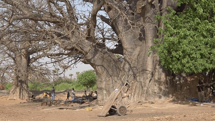 baobabs d'Afrique