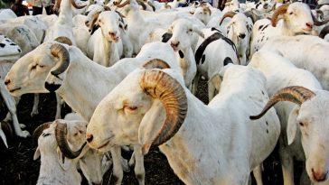 Tabaski 2019/moutons de Tabaski